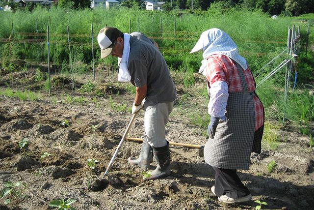 苗植え、土寄せ